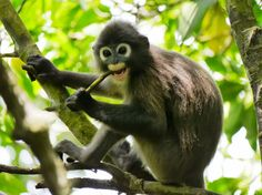 Meet the Dusky Leaf Monkey (Trachypithecus obscurus) and several other forest dwellers at the Taman Negara National Park, Monkey Species, Animal Species, Primates, Mammals, New World Monkey, Exotic Pets, Old World, Cute Wallpapers, National Parks