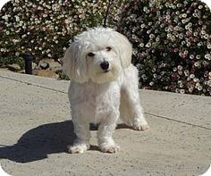 Lathrop, CA - Maltese Mix. Meet Zoey, a dog for adoption. http://www.adoptapet.com/pet/15135517-lathrop-california-maltese-mix