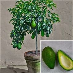 Potted Orchard - Exotic Garden - The largest portal of seedlings in Brazil. Bonsai Fruit Tree, Dwarf Fruit Trees, Trees To Plant, Plant Leaves, Fruit Garden, Edible Garden, Tropical Garden, Unique Trees, Small Trees