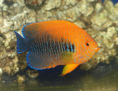"""What's currently in my tank: Potter's Angelfish (Centropyge potteri). I call him, """"Harry."""""""
