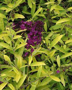 Golden butterfly bush (Buddleja 'Evil Ways')