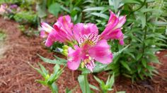 #Alstroemeria is now blooming. This is hardy here and we had forgotten what it was until it popped it's unmistakable blooms this morning! May 12, 2015 Loranger LA