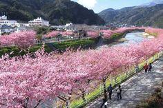 Cerejeiras já estão em plena floração em Kawazu, no centro-sul do Japão