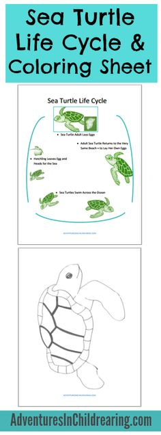 FREE Sea Turtle Life-cycle Printable and coloring sheet for homeschool - instant download.