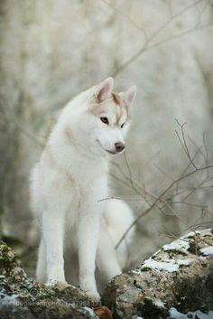 Says wolf but I say Husky