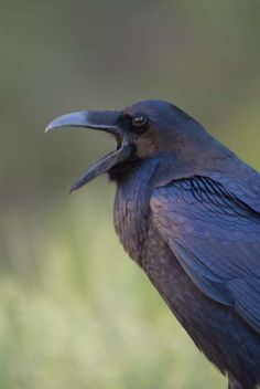 Common Raven adult calling to his/her mates! Photo taken at Zion NP, Utah, USA. Photographer: Steven Holt.