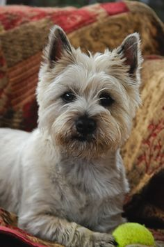 Morag the Cairn Terrier   by Alan Cardwell