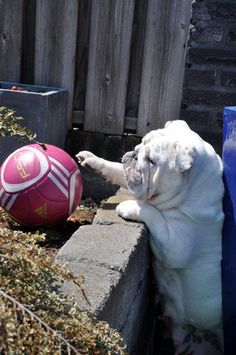 """""""I can almost reach it.Darn these short legs."""" Bull dog pup"""