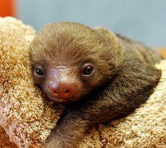 Choloepus sloth ❤️