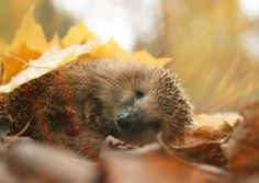 Having a hedgehog-friendly garden is no good if there are no access points to allow the animals in