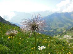 MOLESON - Gruyère - CH Dandelion, Magic, Places, Flowers, Dandelions, Taraxacum Officinale, Royal Icing Flowers, Flower, Florals