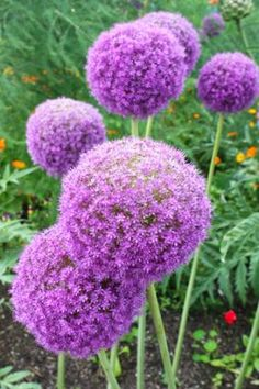 Always wondered what these were. Also called the flowering onion, the allium is a late sring bloomer seen in the May gardens.