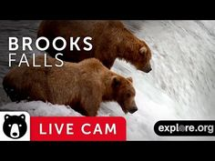 Alaska Bear Cam Lets You Watch Brown Bears Catch Salmon Live At Katmai National Park Salmon Run, King Salmon, Alaska Salmon Fishing, Katmai National Park, Living In Alaska, Live Animals, Funny Animals, Live Stream, Live Cams