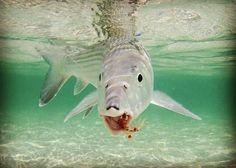 "1,153 Likes, 6 Comments - Bonefish & Tarpon Trust (BTT) (@bonefishtarpontrust) on Instagram: ""Great shot from Bahamas Initative Manager Justin Lewis (@flatsbum73). Be sure not to miss the…"""