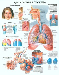 The Respiratory System anatomy poster shows the structure of intrapulmonary airways and the cross section of alveolus. Pulmonology for doctors and nurses. Respiratory System Anatomy, Respiratory Therapy, Lung Anatomy, Body Anatomy, Heart Anatomy, Medical Examination, Human Anatomy And Physiology, Medical Technology, Technology News