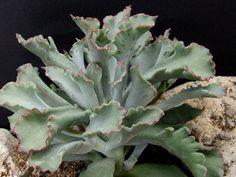 Cotilédones orbiculata fa.  undulata