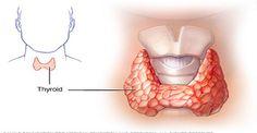 Щитовидная железа расположена у основания шеи, и по форме напоминает бабочку. Это орган чрезвычайно важен для общего состояния здоровья, так как она отвечает за выработку тироксина, гормона, который поддерживает регулирование частоты сердечных сокращений, обмена веществ, роста и развития детей. Ес