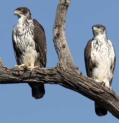 Here a long list types of amazing eagles in the world. #eagles #Typesofeagles