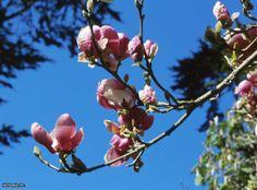 Magnolia x soulangiana ~Rustica Rubra~ (02) Bloom