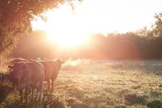 Sunny morning cows - 9x6 fine art photography print by EvasPhotogarden via Etsy #fpoe