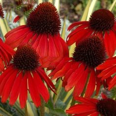 Amazon.com : Best Garden Seeds Rare Echinacea 'Firebird' Dark Red Coneflower, 100 Seeds. impressive perennial flower : Patio, Lawn & Garden