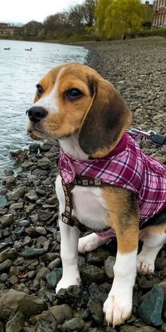 Adding any pooch to your family is definitely a reason for discussion. Generally speaking, Beagles do make incredible family pooches and they are extraordinary with huge gatherings of individuals.#beaglepuppies #cutebeagles #cutebeaglepuppies #funnybeagles #beaglepuppiescutest #dogsandpuppies #cutedogs Beagle Puppies, Cute Puppies, Doggies, Cute Dogs, Dogs And Puppies, Funny Animals, Cute Animals, Cute Beagles, Dog Cat