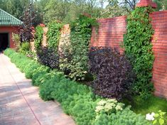 Which plants as a screen for garden and terrace? - Tips and styles # Clematis, Bougainvillea, Garden Bridge, Stepping Stones, Fence, Sidewalk, Backyard, Outdoor Structures, Fruit