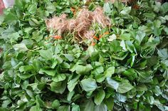 Jambu, tipo de erva muito utilizada na culinária local, deixa os lábios adormecido