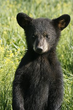 Check out these funny bear and cute bear pics,and videos. Black bear, grizzly bear, it doesn't matter, they can all be also beautiful. Bears are awesome. Cute Baby Animals, Animals And Pets, Funny Animals, Wild Animals, Baby Pandas, Llamas Animal, My Animal, Beautiful Creatures, Animals Beautiful