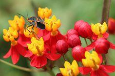 Milkweed Bug and his Plant