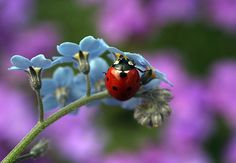 Little lady bug....forget me knot.......