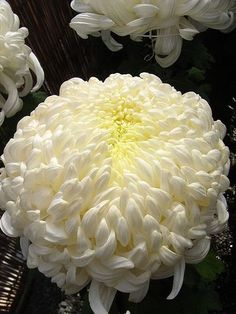 This is a kind of a chrysanthemum cultivated in Japan. It's called
