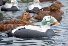 Spectacled Eider Ducks of Alaska & Siberia via Fat Birds!