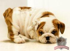 Baby English Bulldog