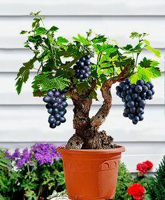 Wine Grapes 'Syrah' | Vitis vinifera 'Syrah' | Holland
