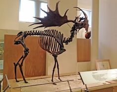 Megaloceras, the Great Irish Elk