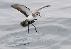 3946. White-faced Storm-Petrel (Pelagodroma marina)   breeds on remote islands in the south Atlantic, such as Tristan da Cunha and also Australia and New Zealand; north Atlantic colonies on the Cape Verde Islands, Canary Islands, Savage Islands