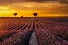 Lavender by jotagphotography 500px field sunset flower france purple provence lavender lavande lavanda cat cats catsonweb
