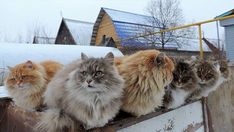 A Group Of Siberian Cats Have Taken Over a Russian Farm And The Photos Are Beautiful - World's largest collection of cat memes and other animals Maine Coon, Siberian Forest Cat, Siberian Cat, Cute Kittens, Cats And Kittens, Tabby Cats, Cats Bus, Ragdoll Kittens, Bengal Cats