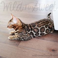 What a beautiful brown color of bengal cat!! Tsar carries also for snow lynx gene. More photos of our cats and kittens at www.wildnsweetbengals.com