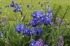 Planting iris plant companions that fill out and bloom later in the season can hide spent iris plants. Companion plants for irises can also be spring blooming flowers that accentuate and contrast iris blooms. Learn more about suitable companions here. Companion Gardening, Iris Flowers, Planting Flowers, Flowering Plants, Spring Blooming Flowers, Gardens, Companion Planting, Vegetable Garden Design