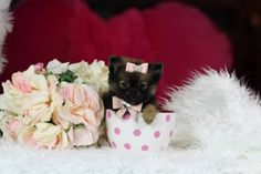 ♥♥♥ Teacup Pomeranian! ♥♥♥ Bring This Perfect Baby Home Today! Call 954-353-7864 www.TeacupPuppiesStore.com