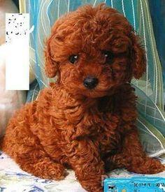 caramel and black maltipoo Red Poodles, Mini Poodles, French Poodles, Standard Poodles, Teacup Maltipoo, Maltipoo Puppies, Cockapoo, Cute Puppies, Pets