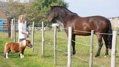 Conoce Acer, el caballo más pequeño del Reino Unido   Voxpopulix.com