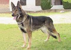 all dog facts research findings and behaviors of all breeds: KUNMING WOLFDOG BREED