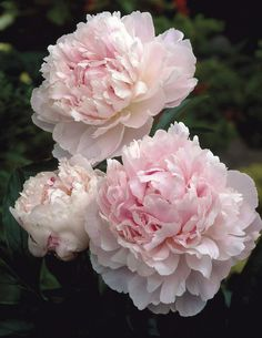Shirley Temple Double Peony. Great for Beltane cekebrations!