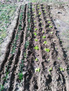 Mini bahcem , marul ve yesil sogan . My little garden , lettuce and scallion.