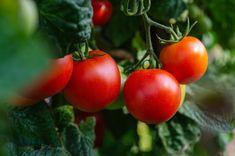 Kto raz ochutná paradajky z vlastnej záhradky, nebude už chcieť iné! Pritom, vypestovať si vlastné paradajky nie je vôbec zložité a dokážete to v záhone, v skleníku, ale aj na balkóne panelového domu.Tajomstvo úspechu sa … Rain Garden, Garden S, Tree Care, Weed Control, Lush, Landscape, Vegetables, Tomatoes, Scenery