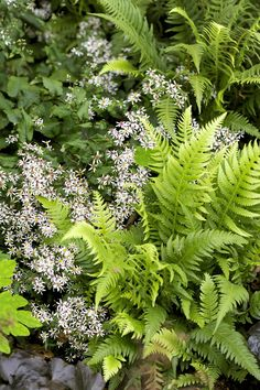 Here, white wood asters serve as ground cover, reducing soil temperatures and aiding in water retention for the benefit of their neighboring ferns.
