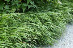 10 plantes vivaces d'ombre pour composer un massif - Promesse de Fleurs Geranium Vivace, Herbs, Nature, Deco, Garden, Shade Garden Plants, Perennials, Beautiful Gardens, Naturaleza